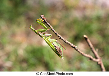 Praying mantis on twig in front of green background