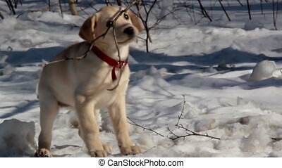 Puppy chews on a branch on snowy ground - A cute labrador...