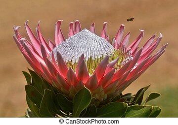King protea - Close up of beautiful King protea