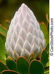 King protea bud - Close up of beautiful King protea