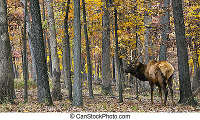 Autumn stag - elk stag walking in woods in autumn