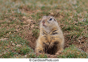 prairie dog (cynomys ludovicianus) sticking out from a...