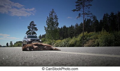 Truck transporting Gas passed by the dead animals Raccoon...