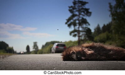 Two family cars passed by dead animal Raccoon dog body - Two...