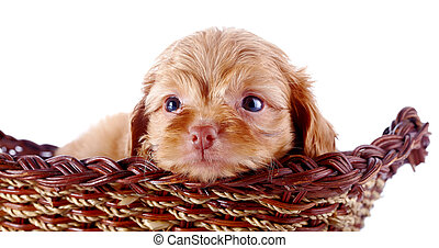 Portrait of a small puppy of a decorative doggie in a wattled basket.