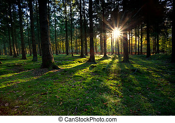 gold sunbeams in coniferous forest - gold fresh sunbeams in...