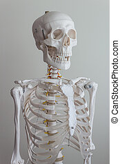 Human skeleton model - isolated full size artificial human...