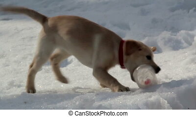 Labrador Retriever puppy playing with a plastic bottle