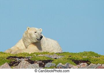 Waking Polar Bear on the grass