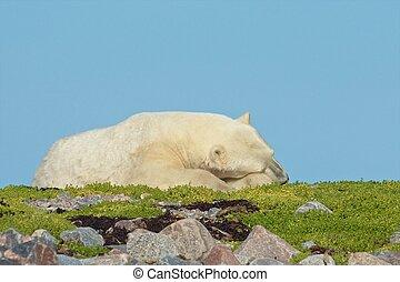Sleeping Polar Bear on the grass
