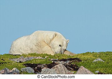 Lazy Polar Bear on the grass