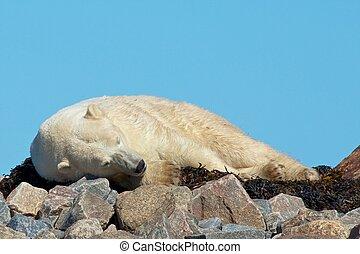 Lazy Polar Bear on the rocks