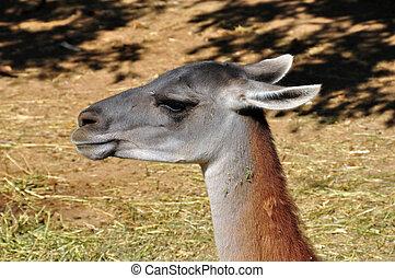 guanaco animal - Guanaco lama guanicoe camelid animalhead...