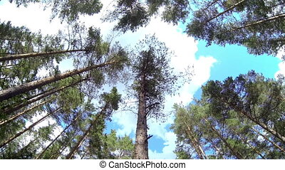 Tall lodgepole pine Pinus Sylvestris in the surrounding...