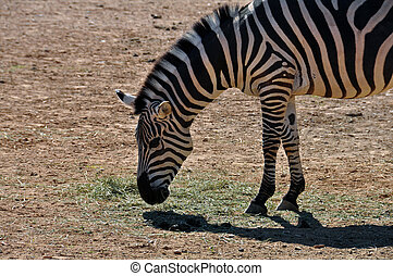 zebra eating grass - Zebra eating grass. Wild animal at the...