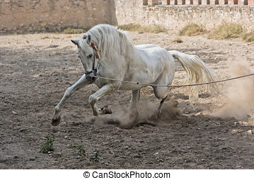 White Spanish purebred horse