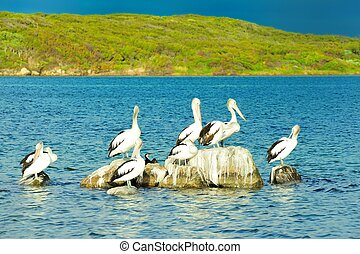 pelican port - pelicans perching on poo covered rock in...