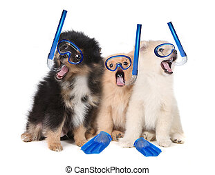 Pomeranian Puppies Wearing Snorkeling Gear - Silly...