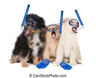 Pomeranian Puppies Wearing Snorkeling Gear - Silly...