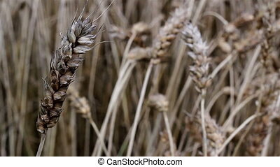 Closer view of the kernel wheat grain field. An up-close...