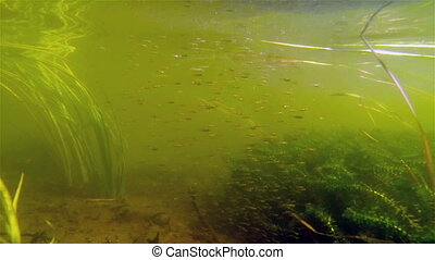 Small size school of fish swimming - Small size small school...