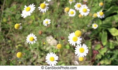 Set of small lovely beautiful white daisies flowers growing...