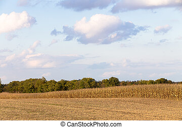 Harvest Time Coming for Corn - Corns are getting yellow and...