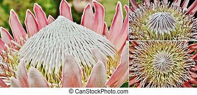 Protea Collage - Close up of beautiful King protea