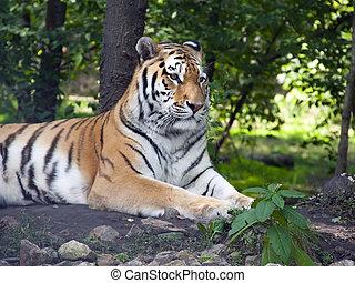 Amur tiger - Siberian or amur tiger Panthera tigris altaica...