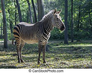 Mountain zebra - Hartmann's mountain zebra (Equus zebra...