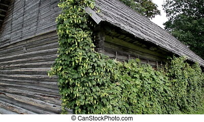 Old cedar wooden shake shingle roof of the hop Humulus in the old log house cabin barn
