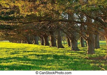 windbreak pines - line of pine tree trunks lit by early...
