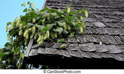 Old cedar wooden shake shingle roof of the hop Humulus in the old log house cabin barn butterfly