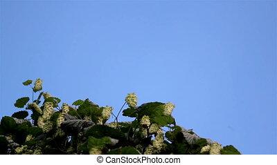 Hop Humulus like Walnut Tree Blooming many beautiful flowers...
