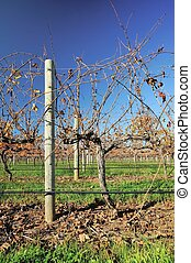 vines in autumn #2