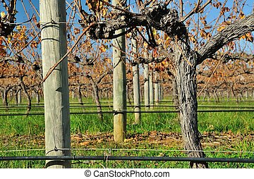 vines in autumn #3