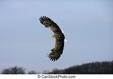 White-tailed sea-eagle, Haliaeetus albicilla, single bird in...