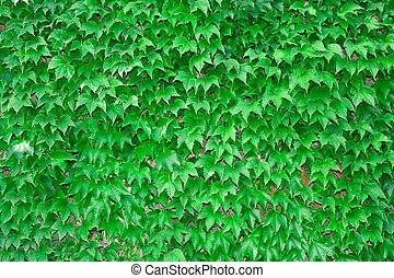 vine background - green background from vine leaves