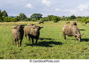 Masses Buffalo And The tilted in Grass