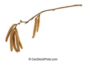 twig of hazelnut tree with flowers