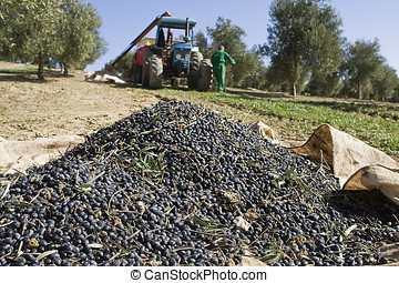 Olive collection, Jaen, Spain - Olives on a canvas on the...