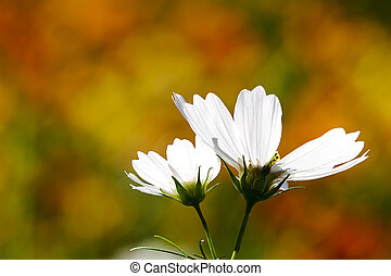 field of daisy flowers for adv or others purpose use