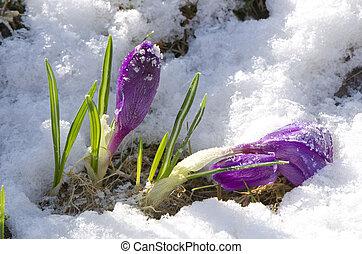 Purple crocuses flowers through snow - Purple spring...