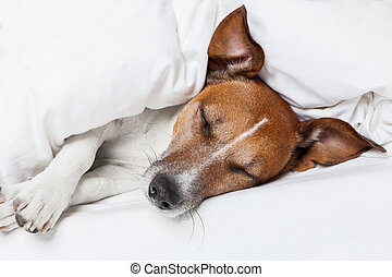 dog in bed - Jack russell terrier sleeping in bed and...
