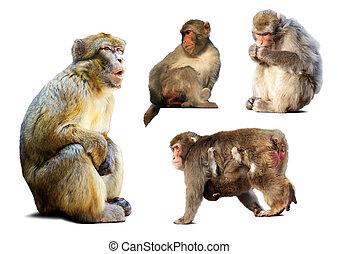 állhatatos, felett, kevés,  macaques, háttér, fehér