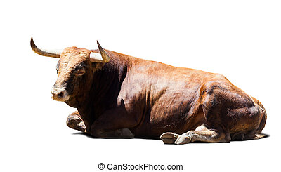 resting brown bull over white - resting brown bull, isolated...