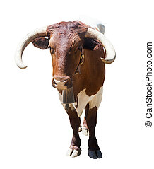 bull or cow. Isolated over white - Face view of standing...