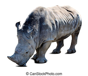 rhinoceros over white with shade - rhinoceros Ceratotherium...