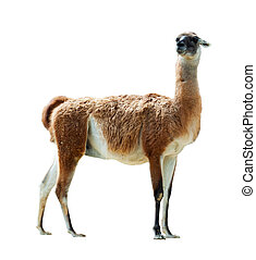 Guanaco, isolated  over white background