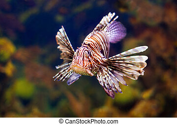 Red lionfish in water - Red lionfish - venomous fish living...